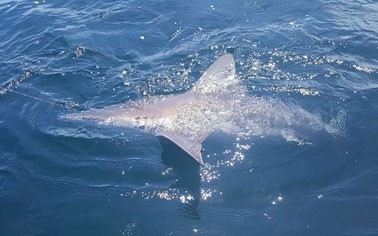 Guided shark fishing trip in Pensacola